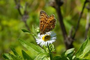 Rolnicze zanieczyszczenie azotem jest szkodliwe dla motyli
