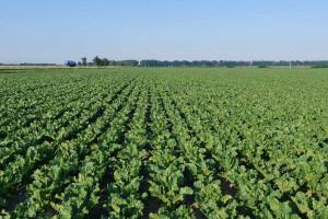 Pfeifer & Langen Polska: przyspiesza wegetacja buraków cukrowych