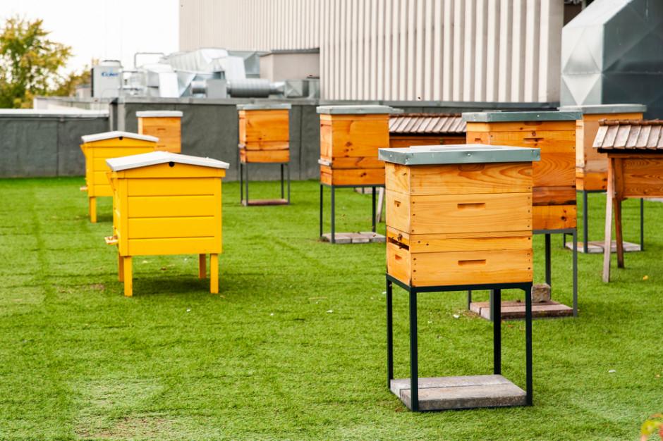 Miejskie pasieki mogą szkodzić innym gatunkom pszczół