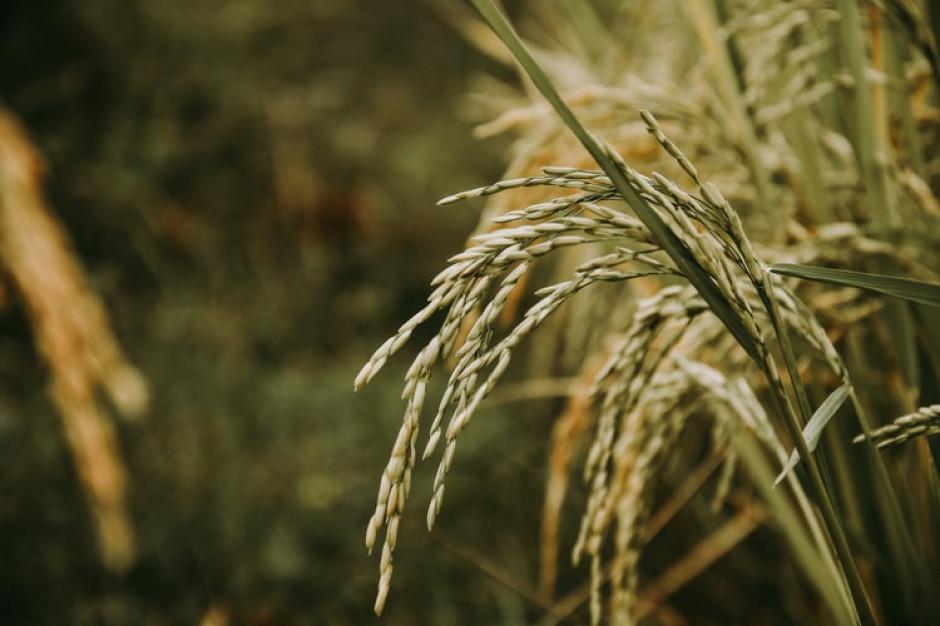 Gorące noce zaburzają wzrost ryżu