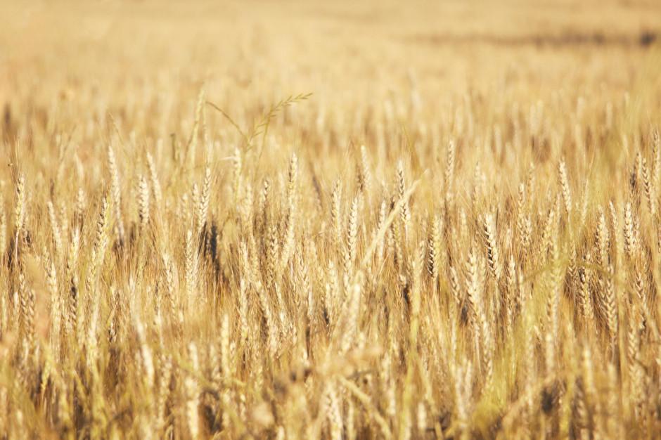 KOWR: dobre prognozy zbiorów zbóż na świecie