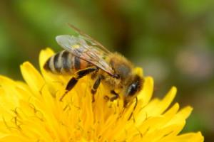 Populacja pszczół i zapylaczy zagrożona na całym świecie