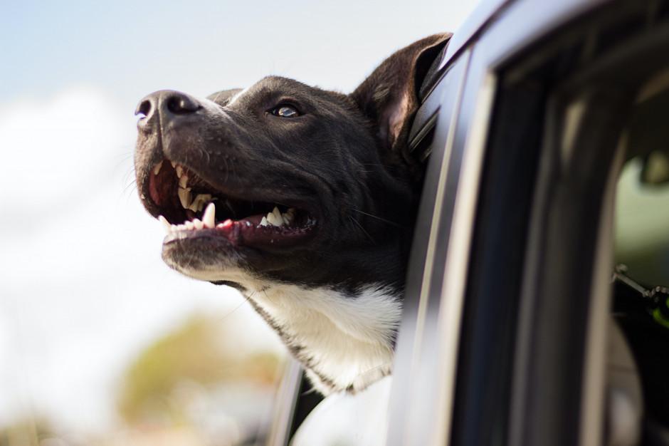 Tesco w UK: pracownicy będą ratować psy w nagrzanych samochodach