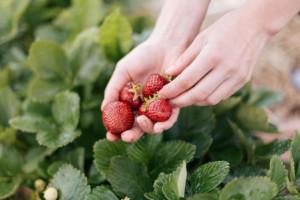 Sezon truskawkowy nie dał zarobić plantatorom