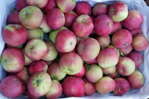 Wczesne jabłka z tegorocznych zbiorów już dostępne w hurcie