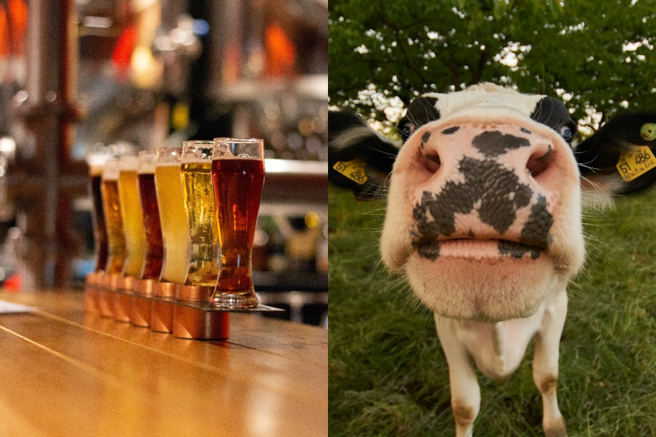 Co ma wspólnego krowa z browarem?