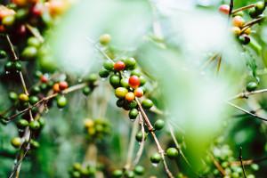 Anomalie pogodowe w Brazylii windują ceny kawy