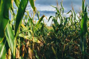 Uprawy kukurydzy zagrożone suszą rolniczą