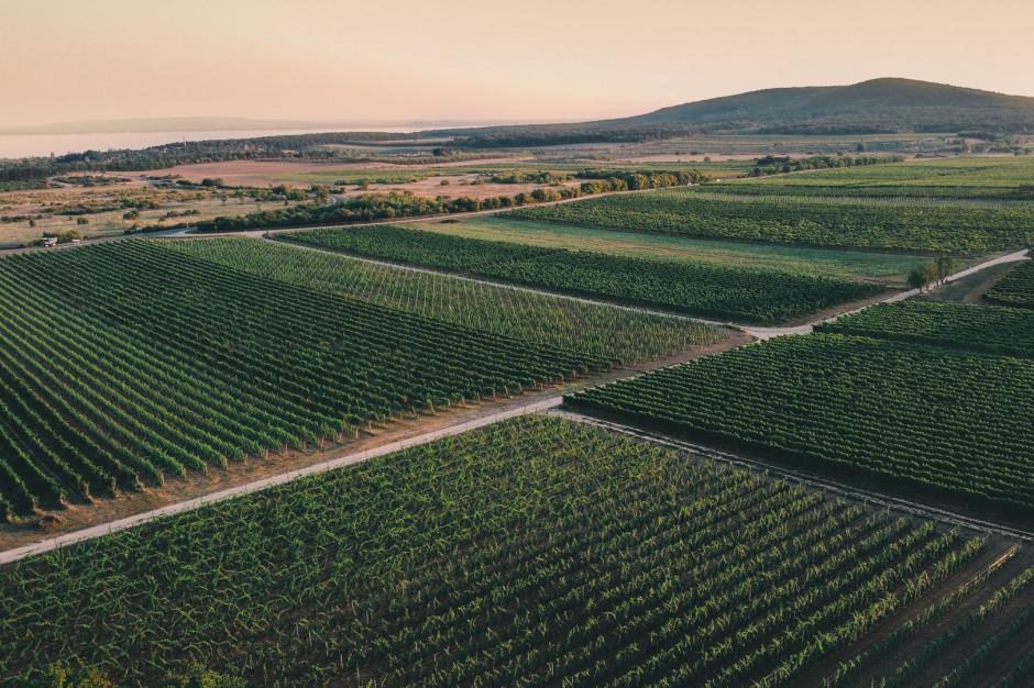 Na Węgrzech ruszyło winobranie