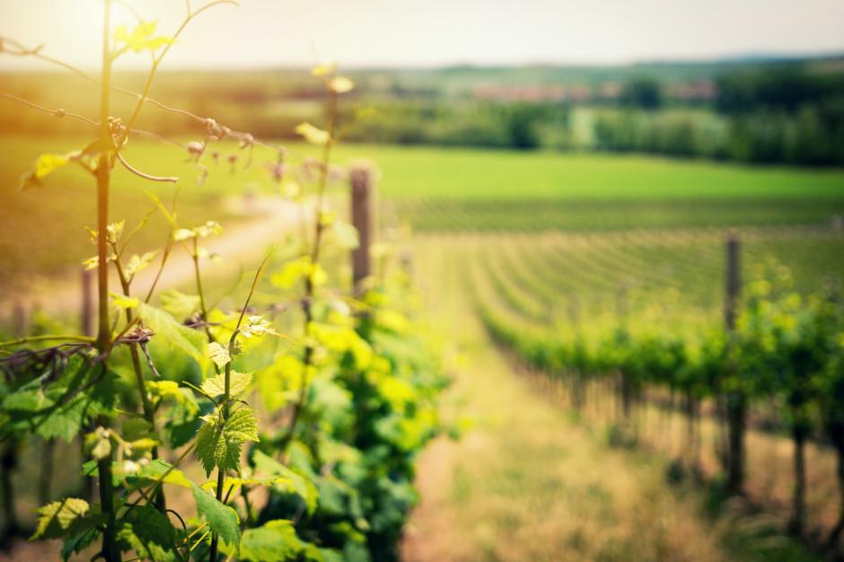 Polska staje się krajem winiarskim