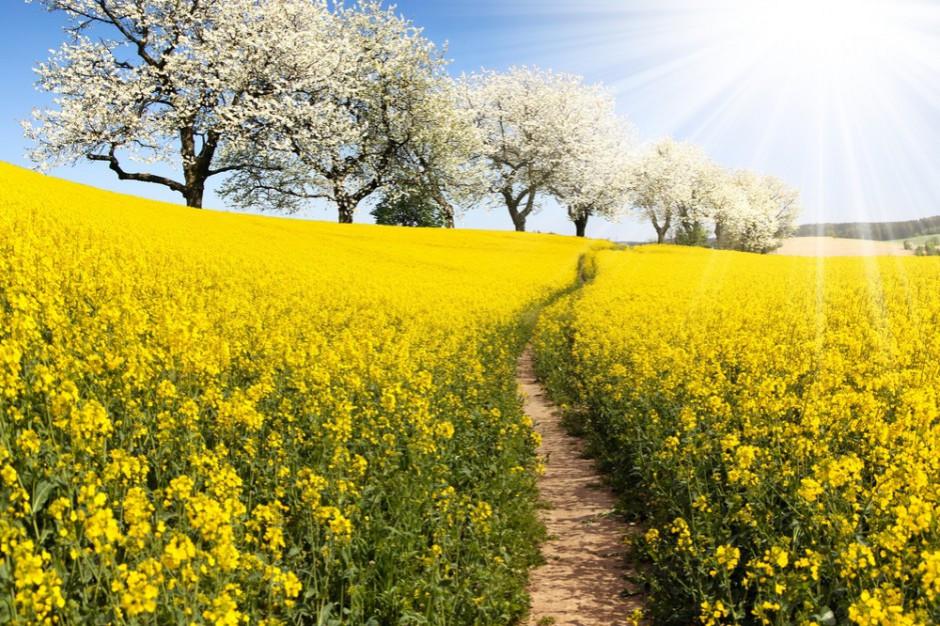 PSPO: Europejski Zielony Ład to wyzwanie dla producentów rzepaku