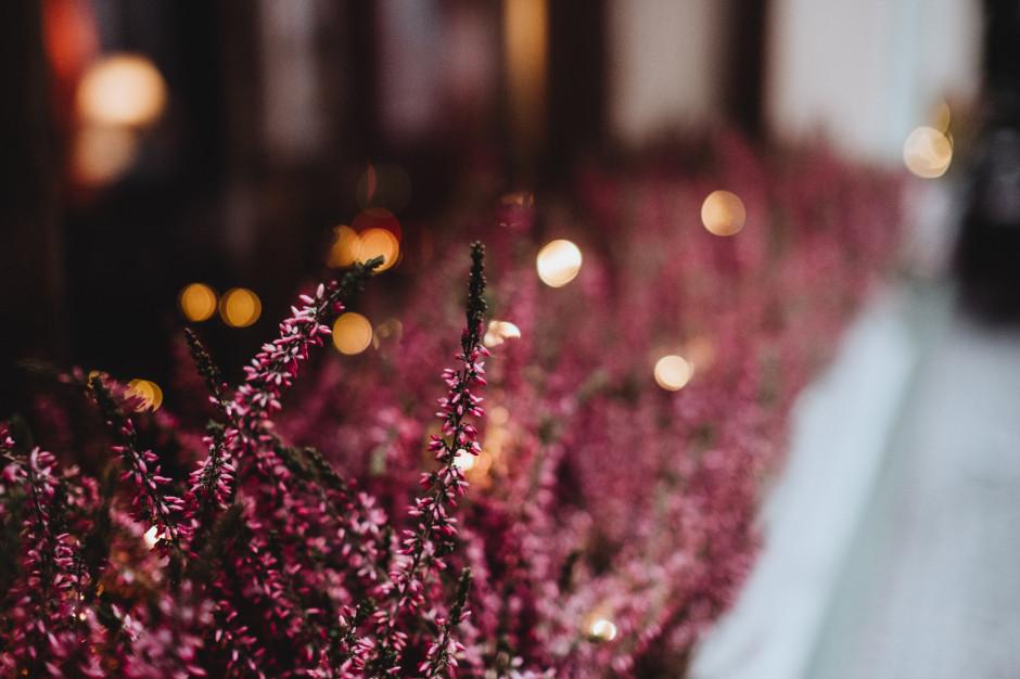 Jesienne rośliny i kwiaty króluje na rynku hurtowym w Broniszach