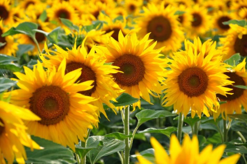 Słoneczniki zwracają się w kierunku wschodnim, to im daje korzyść