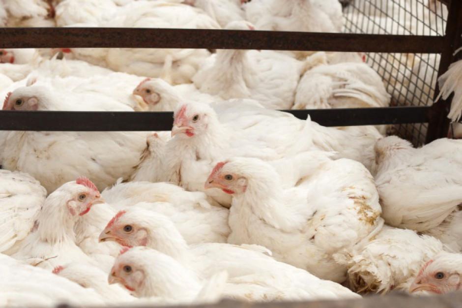 Producenci drobiu: tanieją kurczaki w skupie