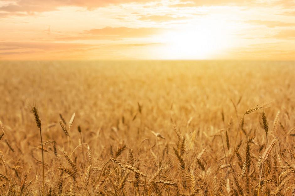 Izba Zbożowo-Paszowa: Zbiory zbóż zostały praktycznie zakończone