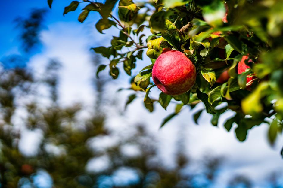 Ile jabłek zbiorą w tym roku polscy sadownicy? Rozbieżne szacunki