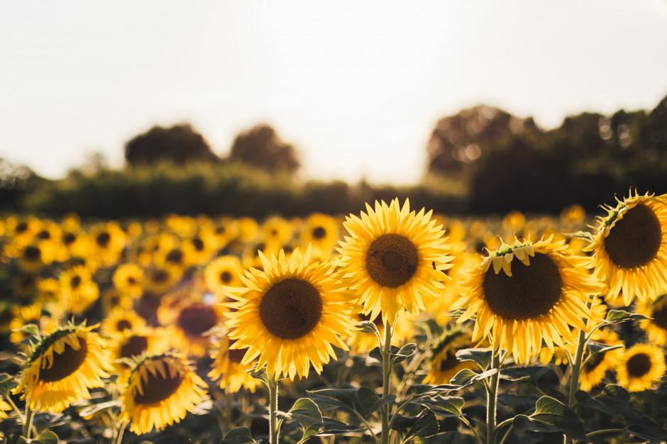 Plony słonecznika na Ukrainie wyższe niż przed rokiem