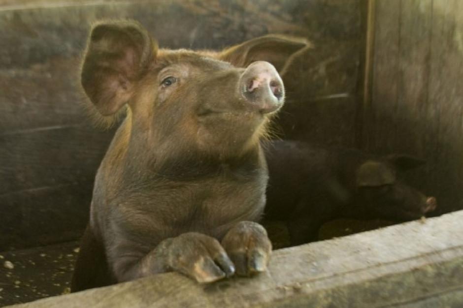 Projekt pomocy dla hodowców świń z terenów objętych ASF
