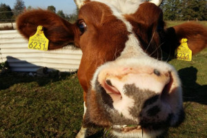Pogłowie bydła wzrosło do 6,4 mln sztuk