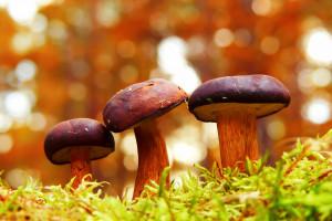 Rumuńscy grzybiarze opanowali lasy Beskidu Niskiego