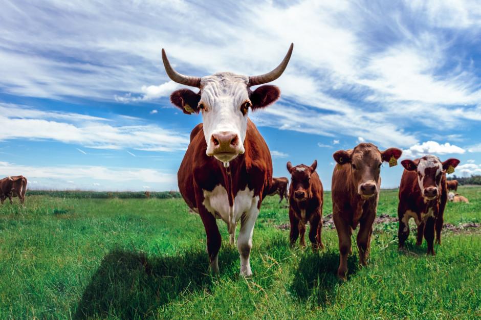 Co piąty Polak uważa, że hodowla zwierząt ma wpływ na globalne ocieplenie