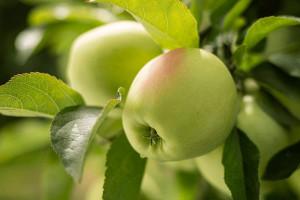 Polskie jabłka promowane w Europie