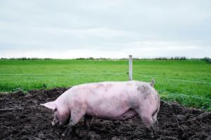 Wieprzowina: Rekordowe ceny żywca na Ukrainie