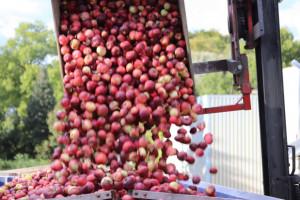 Przetwórnie podniosą ceny jabłek?