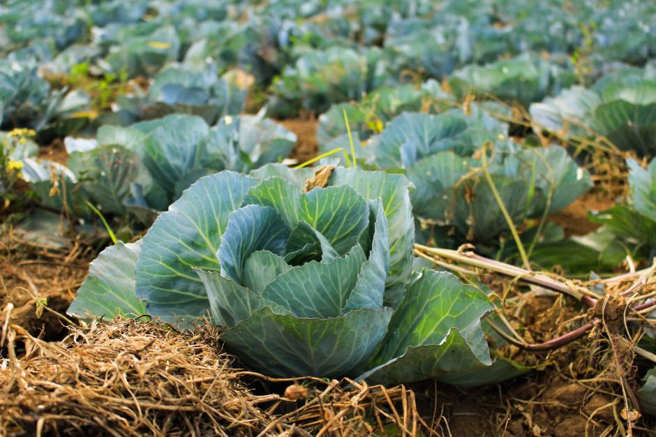 Wyższe zbiory warzyw mogą osłabić wzrost ich cen