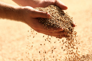 Światowa produkcja zbóż nie nadąża za popytem