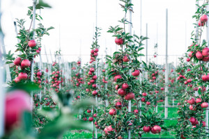 Światowy Dzień Jabłka. Wyzwania przed polskimi sadownikami