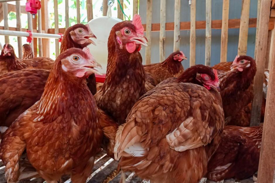 Polska znów wolna od grypy ptaków