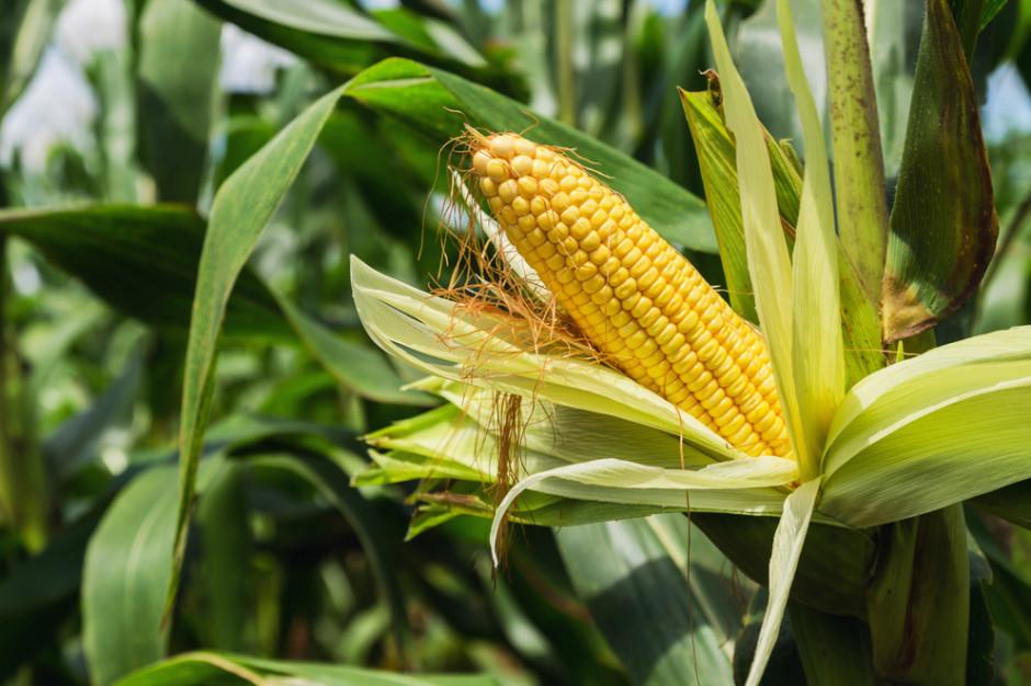 Trwają zbiory kukurydzy na ziarno