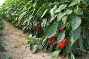 Plantator: w uprawie papryki najwięcej zyskują pośrednicy