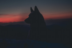 Wilki mogą być pomocne w ograniczaniu ASF
