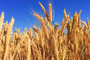 Ceny pszenicy na MATIF wzrosły