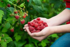 Malinomat – pomysłowa sprzedaż owoców prosto z plantacji