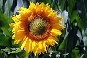 Bardzo dobre zbiory słonecznika w Grupie IMC