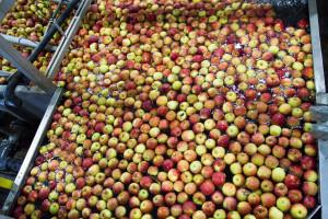 Lewica apeluje do Grzegorza Pudy o skup jabłek od sadowników
