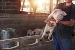 Od 1 listopada ważne zmiany dla rolników transportujących świnie