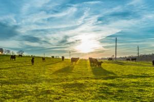 Rolnictwo: Zwiększyła się regionalizacja produkcji zwierzęcej