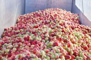 Sytuacja na rynku jabłek przemysłowych budzi wiele negatywnych emocji